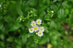 Conjunto de flor do fleabane da margarida Fotografia de Stock