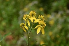 Conjunto de flor de planta amarela do wingstem Imagens de Stock Royalty Free