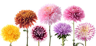 Conjunto de flores de la dalia en diverso color Imagen de archivo