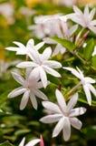 Conjunto de flores do jasmim fotografia de stock