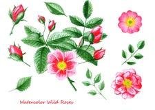 Conjunto de flores de la acuarela Dé la flor, las hojas y los brotes color de rosa salvajes exhaustos Foto de archivo