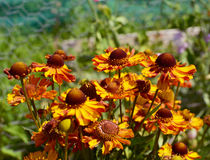Conjunto de flores vermelho-marrons e amarelas do helenium fotografia de stock royalty free