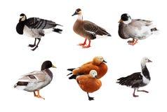 Conjunto de gansos y de patos. Aislado sobre blanco Imagen de archivo