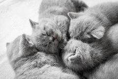 Conjunto de gatos do sono Shorthair britânico Foto de Stock Royalty Free