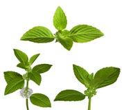 Conjunto de hojas de menta verdes Imagenes de archivo