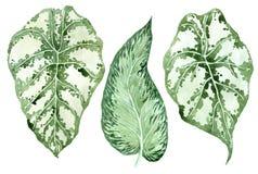 Conjunto de hojas tropicales Selva, ejemplos bot?nicos de la acuarela, elementos florales, hojas de palma, helecho y otros Mano d ilustración del vector