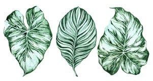 Conjunto de hojas tropicales Selva, ejemplos bot?nicos de la acuarela, elementos florales, hojas de palma, helecho y otros Mano d stock de ilustración
