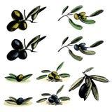 Conjunto de ilustraciones de las aceitunas verdes y negras Fotografía de archivo libre de regalías
