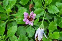 Conjunto de joaninhas dentro da flor Fotografia de Stock Royalty Free
