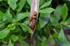 Conjunto de joaninhas que sentam-se na folha secada na planta no jardim Imagem de Stock