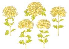 Conjunto de la flor de 5 crisantemos ilustración del vector