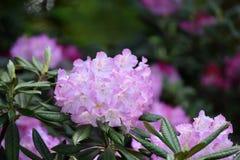 Conjunto de luz - flores roxas do rododendro fotografia de stock royalty free