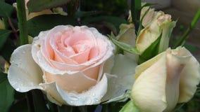 Conjunto de marfim Rose Buds, de folhas do verde e de hastes longas imagem de stock royalty free