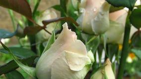 Conjunto de marfim Rose Buds, de folhas do verde e de hastes longas foto de stock royalty free