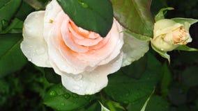 Conjunto de marfim Rose Buds, de folhas do verde e de hastes longas imagens de stock