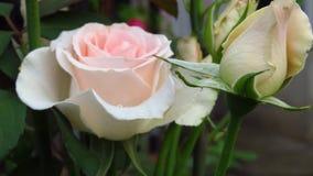 Conjunto de marfim Rose Buds, de folhas do verde e de hastes longas fotografia de stock