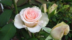 Conjunto de marfim Rose Buds, de folhas do verde e de hastes longas fotos de stock royalty free