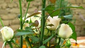 Conjunto de marfim Rose Buds, de folhas do verde e de hastes longas imagem de stock
