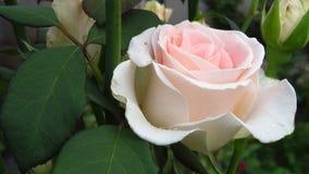 Conjunto de marfim Rose Buds, Rosa inteiramente aberta, folhas do verde e hastes longas fotografia de stock royalty free