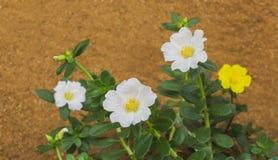Conjunto de Moss Roses foto de stock royalty free