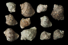 Conjunto de negro de Rapanas del mar aislado Imagen de archivo libre de regalías
