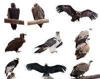 Conjunto de pájaros del buitre. Aislado sobre blanco Foto de archivo libre de regalías