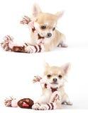 Conjunto de retratos del perrito de la chihuahua con el kit del invierno Imagen de archivo