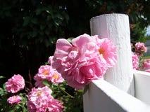 Conjunto de Rosa no close-up da cerca Fotos de Stock Royalty Free