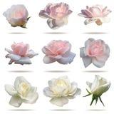 Conjunto de rosas Imagen de archivo