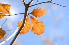 Conjunto de três Autumn Leaves no ramo de árvore fotos de stock