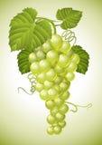Conjunto de uva com folhas verdes ilustração do vetor
