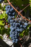 Conjunto de uvas azuis na videira Fotografia de Stock Royalty Free