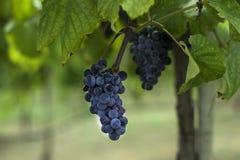 Conjunto de uvas roxas escuras que penduram em um ramo do vinhedo Foto de Stock