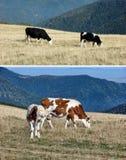 Conjunto de vacas Fotografía de archivo libre de regalías