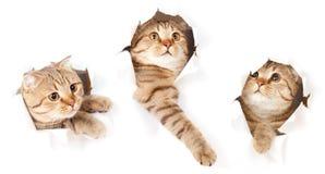 Conjunto del gato en el agujero rasgado cara de papel aislado Imágenes de archivo libres de regalías
