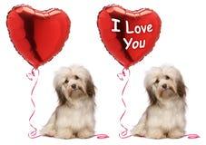 Conjunto del perro de Havanese de la tarjeta del día de San Valentín del amante Fotos de archivo
