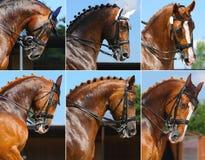 Conjunto: deporte ecuestre/retrato del caballo del dressage Fotos de archivo libres de regalías