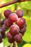 Conjunto grande de uvas azuis Foto de Stock
