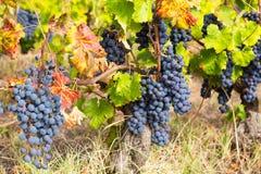 Conjunto grande de uvas azuis Fotografia de Stock
