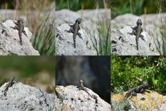 Conjunto - hardun del lagarto en una roca Fotos de archivo