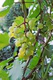 Conjunto maduro grande das uvas Imagem de Stock Royalty Free