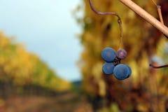 Conjunto pequeno de Pinot Noir Imagem de Stock Royalty Free