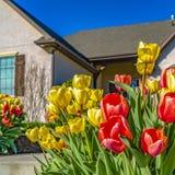 Conjunto quadrado do quadro de tulipas vibrantes que florescem no jardim de uma casa em um dia ensolarado imagens de stock