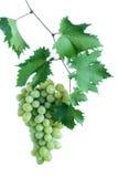 Conjunto verde da uva com as folhas na videira imagens de stock