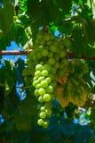 Conjunto verde das uvas imagem de stock