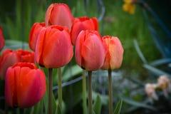 Conjunto vermelho das tulipas imagem de stock royalty free
