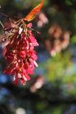 Conjunto voado vermelho das sementes Fotografia de Stock