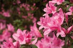 Conjuntos cor-de-rosa da azálea no fundo do Macio-Foco Imagens de Stock