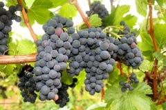 Conjuntos da uva para vinho Imagem de Stock