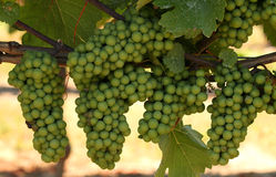 Conjuntos de crescer uvas verdes em um vinhedo Foto de Stock